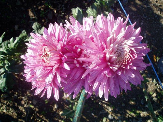 Парад хризантем в Никитском ботаническом саду. Крым  - Страница 2 1877b760cad9