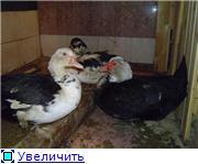 кормление - Мускусные утки (индоутки) - ч.1 - Страница 19 02c88764febct
