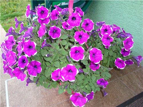 Які квіти прикрашають Ваші ґанки, підвіконня, балкони? A72944e0997c