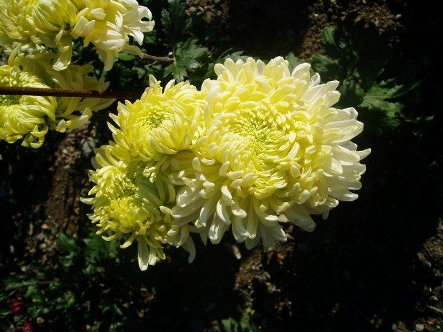Парад хризантем в Никитском ботаническом саду. Крым  - Страница 2 1ce0deaeec2a