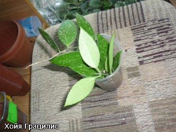 декоротивно-лиственные и красивоцветущие растения - Страница 3 Fbe35c10a006