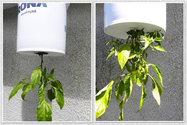 Технология выращивания помидоров (томатов) вниз головой 439cb555745b
