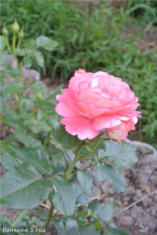 Розы-2013 Fd00df2a2dd2