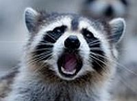 Raccoons also migrate 9cb00ae2b14d