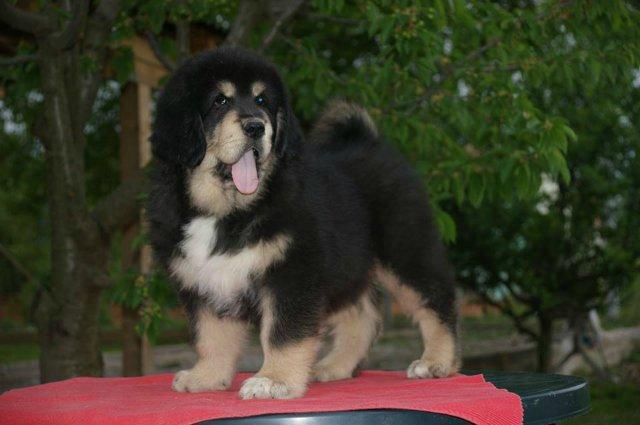 «Tibetan Mastiff Breeding Plans and Puppies for Sale». Bb11685b3eb4