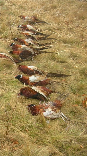 Охота на дикого фазана в Ейском районе Краснодарского края A801dcb6c1ea