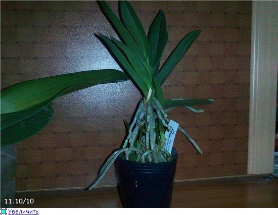 Странности и интересности наших орхидей - Страница 4 060f059cd39bt