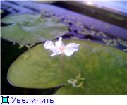 Цветение аквариумных растений F37399714536t
