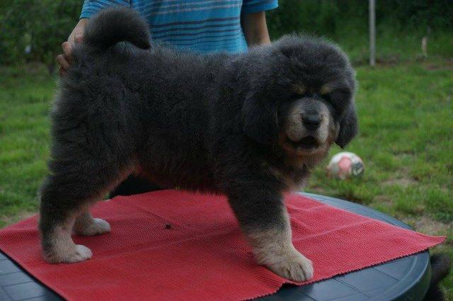 «Tibetan Mastiff Breeding Plans and Puppies for Sale». 2d32adfd8f71