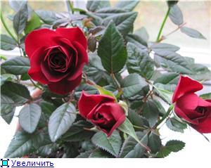 Розы в комнатной культуре - Страница 3 0e14c31b7ccdt