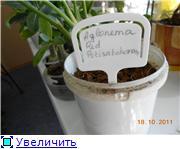 Аглаонема собирается цвести! B94b741f28a5t