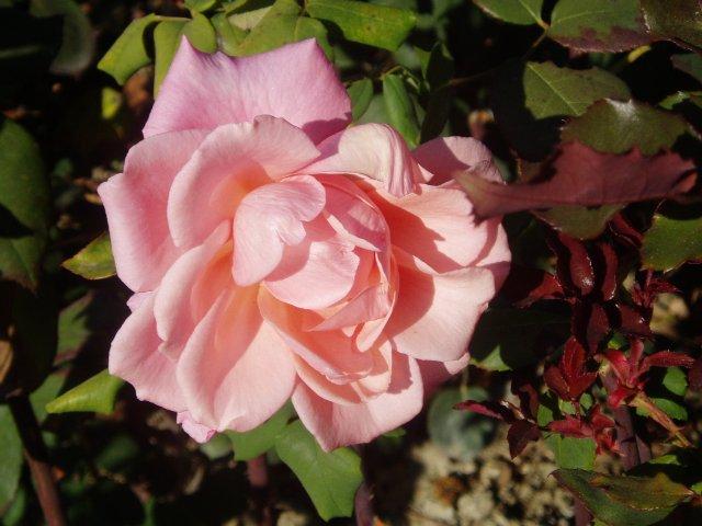 Парад хризантем в Никитском ботаническом саду. Крым  - Страница 2 41d2e731f2ea