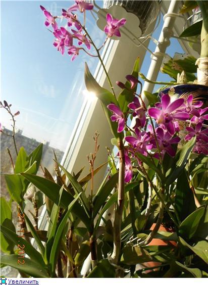 Помогите опознать орхидею! 165150ca2a12t