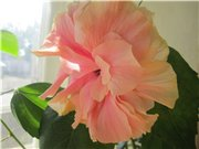 Садовые многолетние цветы - давайте меняться - Страница 3 52a52b12655at