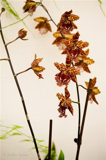 Выставка орхидей в Государственном биологическом музее им. К.А.Тимирязева B3581e2860e7