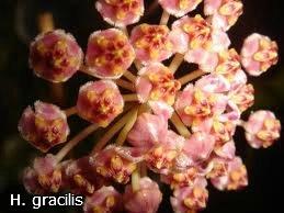 декоротивно-лиственные и красивоцветущие растения - Страница 3 Af00d887c70a
