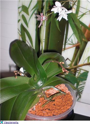 Странности и интересности наших орхидей - Страница 3 F19ad3d7d163t