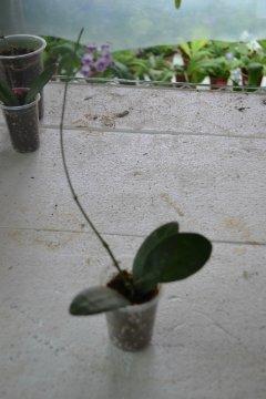 декоротивно-лиственные и красивоцветущие растения - Страница 4 D2ebeefc85b7