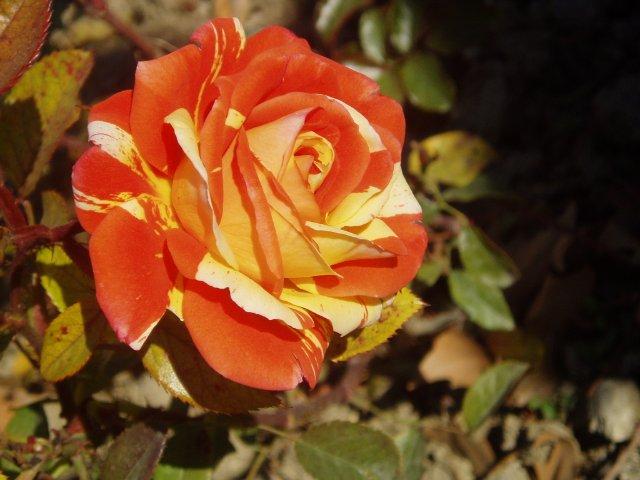 Парад хризантем в Никитском ботаническом саду. Крым  - Страница 2 413227ee0a7e