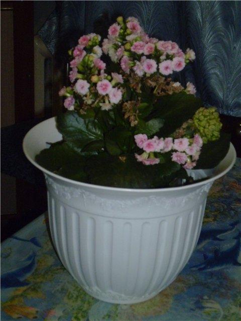 А что растет у нас на подоконнике ... цветы в доме. - Страница 20 01b4f2e08e96