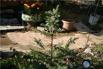 Хвойные растения и вересковые в садовом дизайне. - Страница 40 0e7a6239a08bt