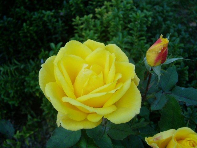 Парад хризантем в Никитском ботаническом саду. Крым  - Страница 2 890c3b06db13