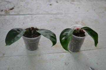 декоротивно-лиственные и красивоцветущие растения - Страница 4 02eadbe2d83c