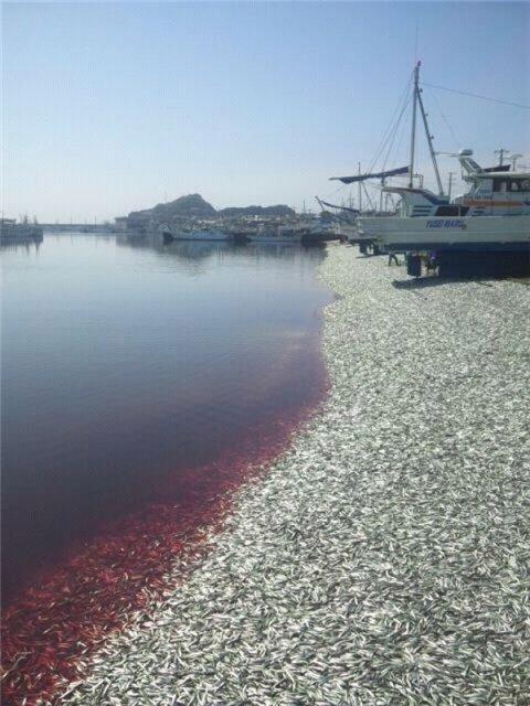 Тонны мертвых сардин выбросило на берег в Японии Fc17f593d372