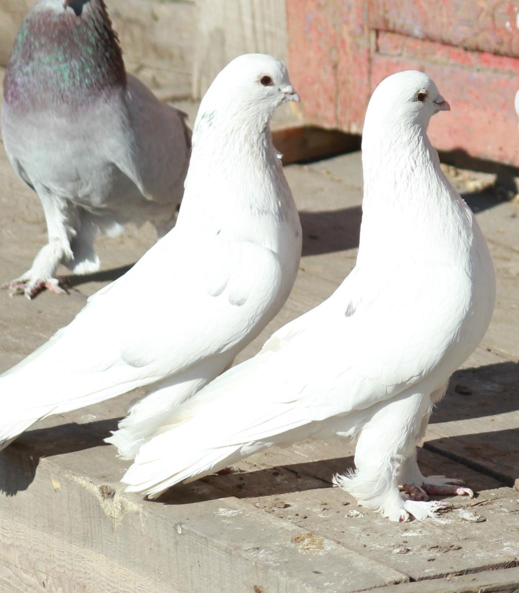 вилюйских краснодарская порода голубей показать картинки официальное упоминание нем