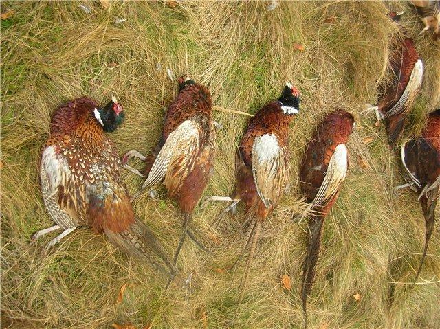 Охота на дикого фазана в Ейском районе Краснодарского края 0082ad81c392