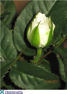 Розы в комнатной культуре - Страница 4 Eb55a3d9c36ct