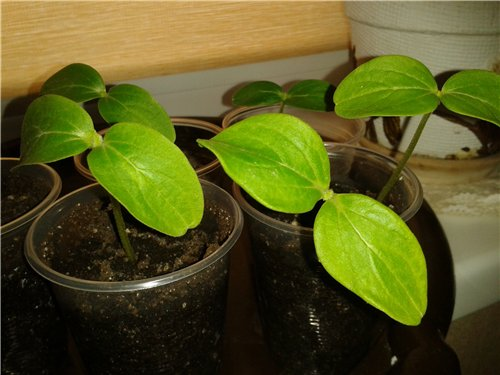 Выращивание огурцов 45b254594039