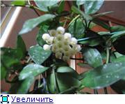 Цветение хой . 7fed61b5beact