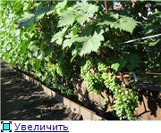 Виноград- секреты выращивания 3773fe0d6b03t