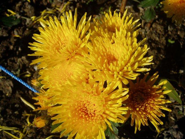 Парад хризантем в Никитском ботаническом саду. Крым  - Страница 2 971dca8304ba