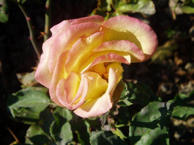 Парад хризантем в Никитском ботаническом саду. Крым  - Страница 2 91afe8e71350