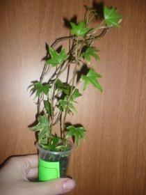 декоротивно-лиственные и красивоцветущие растения - Страница 3 F7725b730acb