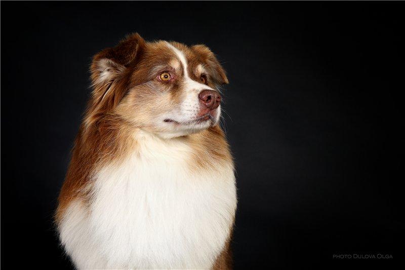 """Питомник """"Aurum Dog"""" 08851783716a"""