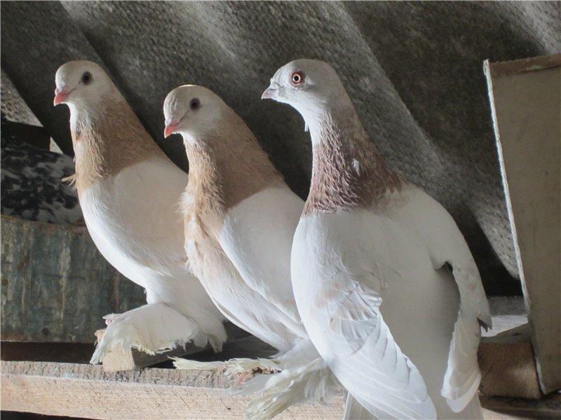 любителей краснодарская порода голубей показать картинки если ущербный, почему