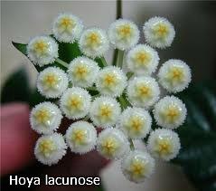 декоротивно-лиственные и красивоцветущие растения - Страница 3 Cfb53be69455