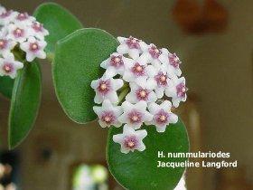 декоротивно-лиственные и красивоцветущие растения - Страница 3 4018769b125d