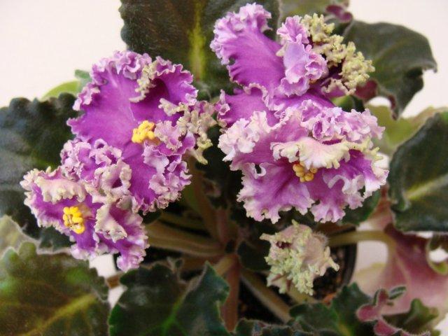 Мои цветочки - Страница 30 Feb99c55185c