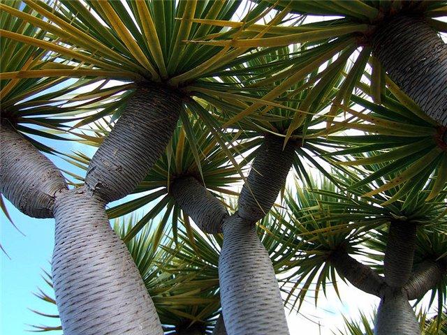 Растения, связанные с драконами 8cf7079e9def