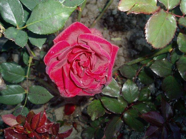 Парад хризантем в Никитском ботаническом саду. Крым  - Страница 2 D6b7cb617f10