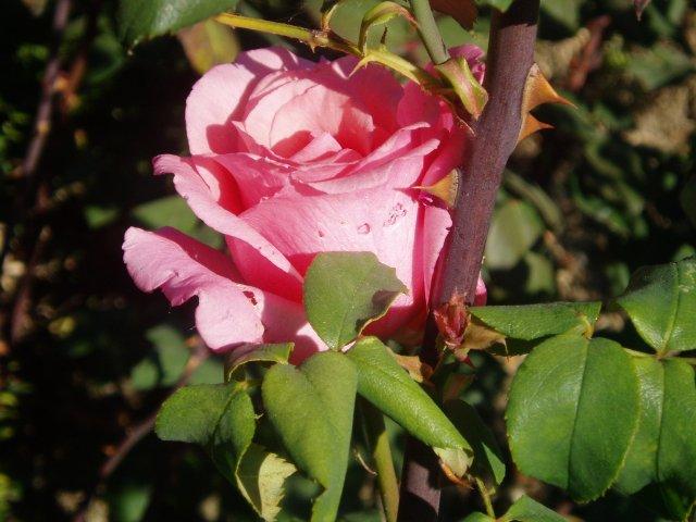 Парад хризантем в Никитском ботаническом саду. Крым  - Страница 2 9a05cbbfe127