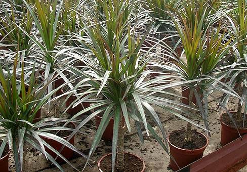 Растения, связанные с драконами D01711d66b62