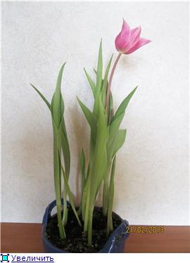 Выгонка луковичных. Тюльпаны, крокусы и др. - Страница 11 F4c9731c009et