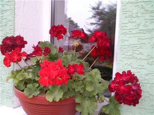 Які квіти прикрашають Ваші ґанки, підвіконня, балкони? 02e27e4eaaf7