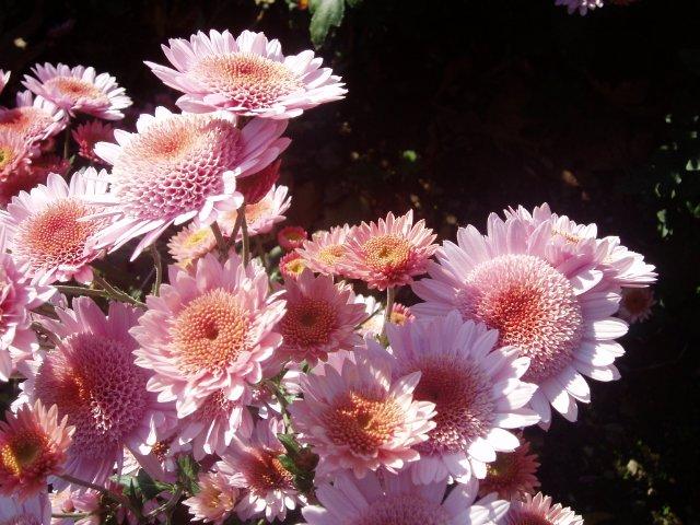Парад хризантем в Никитском ботаническом саду. Крым  - Страница 2 Cc0bf6cc4d5a