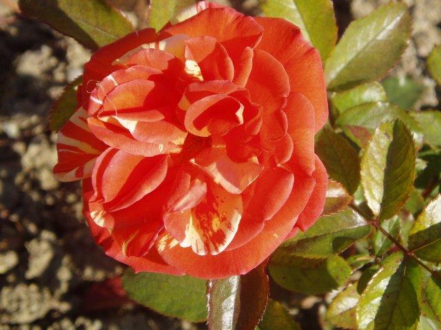 Парад хризантем в Никитском ботаническом саду. Крым  - Страница 2 3ebf2a02af22